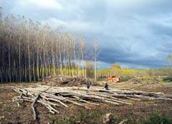FAFCYLE vende más de 13.000 metros cúbicos de madera de chopo por 863.000 euros