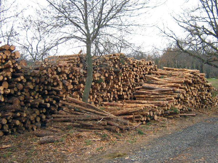 FAFCYLE subastará más de 20.000 metros cúbicos de madera de chopo
