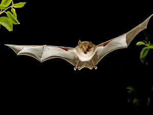 Los murciélagos, una solución a las plagas de procesionaria