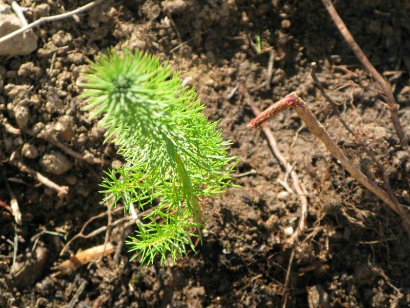 Progresa el proyecto de reforestación de BOSQUES SOSTENIBLES en la Sierra de Gredos