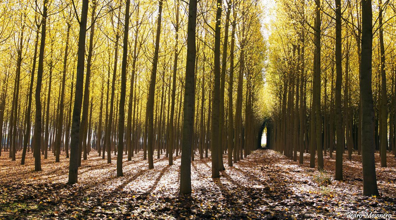FAFCYLE subastará más de 14.000 m3 de madera de chopo