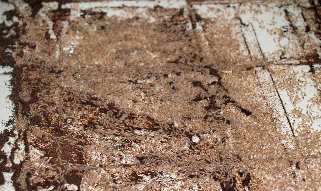 normaune_termitas