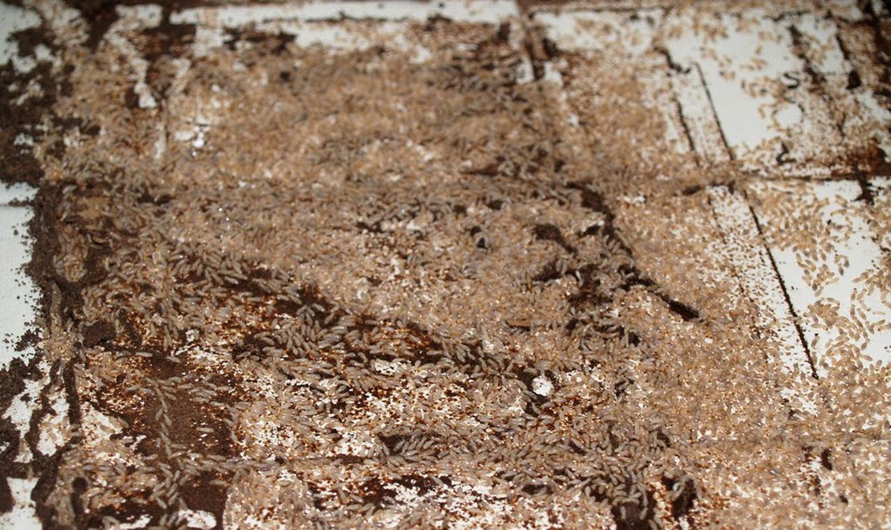 La nueva norma UNE 56418:2016 regula el protocolo de actuación en cascos urbanos afectados por termitas subterráneas