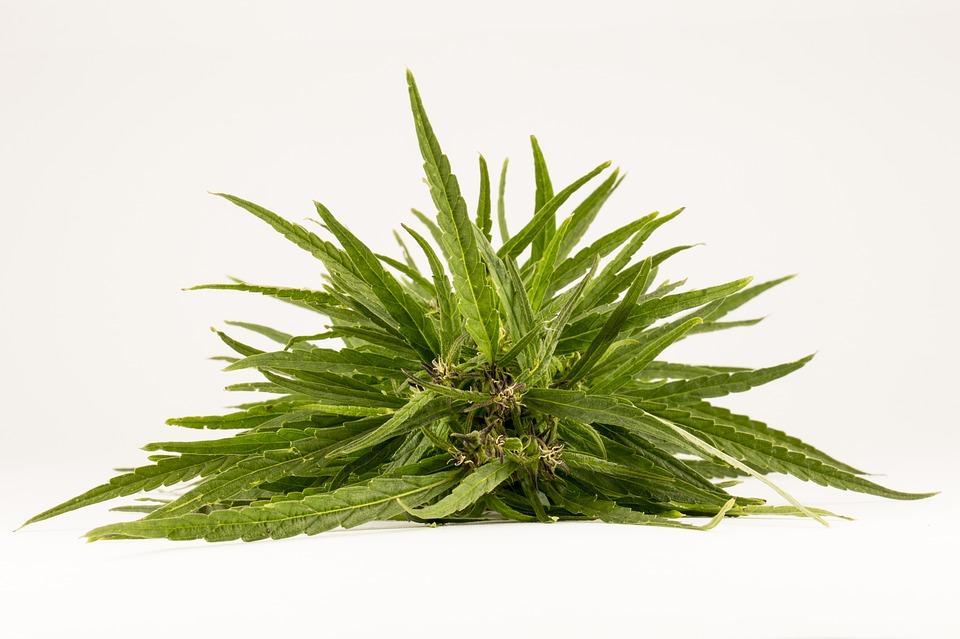 El cannabis como novedoso y eficaz material para la construcción