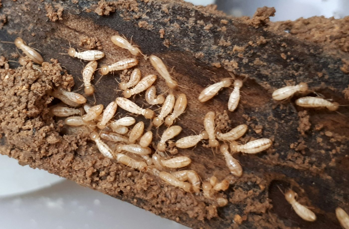 Señales de daños por termitas