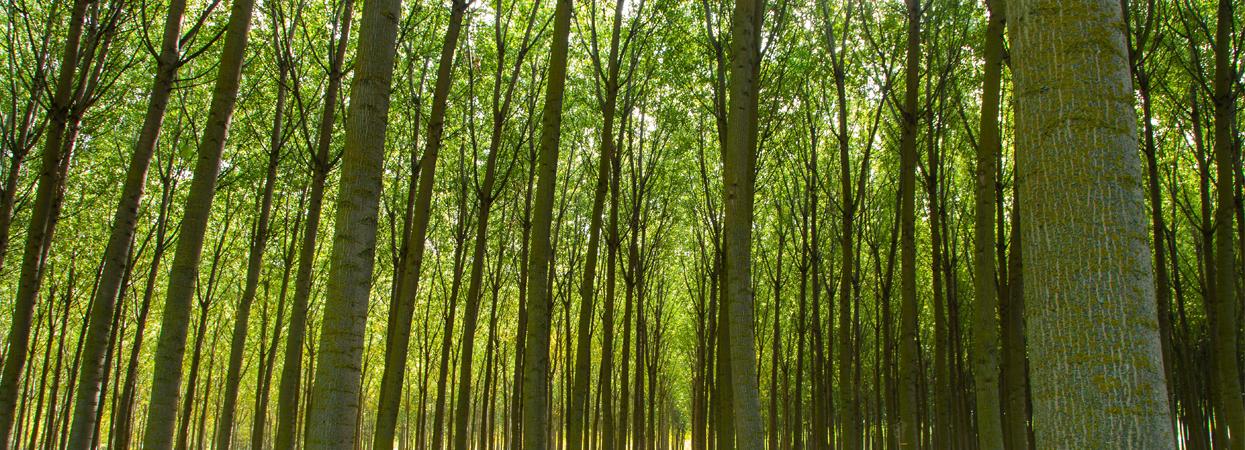 Choperas, el bosque protector