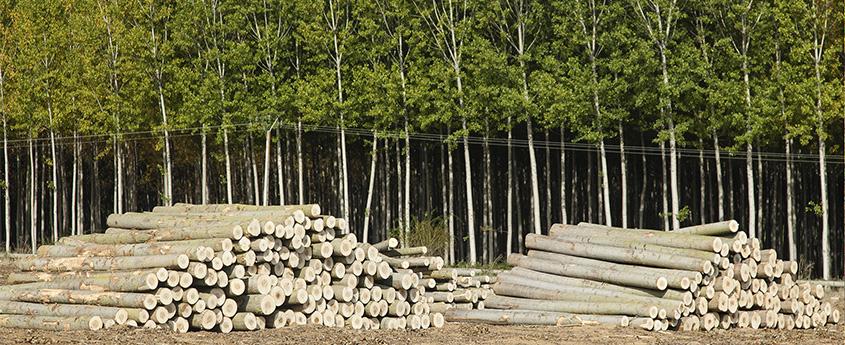 Los populicultores de Castilla y León venden 14.418 m3 de madera de chopo