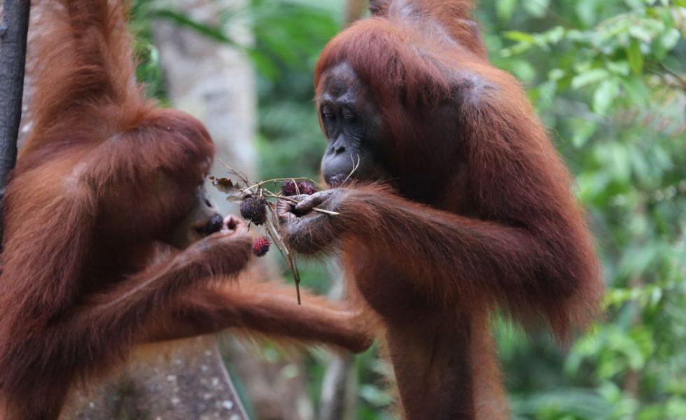 La tala ilegal en Indonesia amenaza a los orangutanes