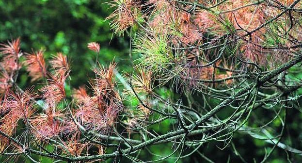 BASKEGUR reclama medidas inmediatas para frenar la enfermedad de las bandas de las acículas de los pinos