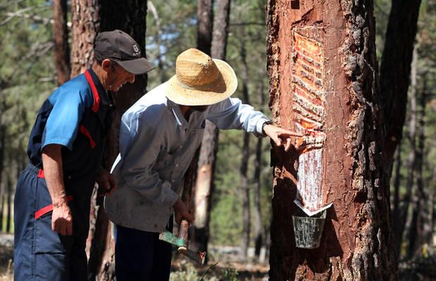 Una empresa busca resineros para la zona de Caminomorisco
