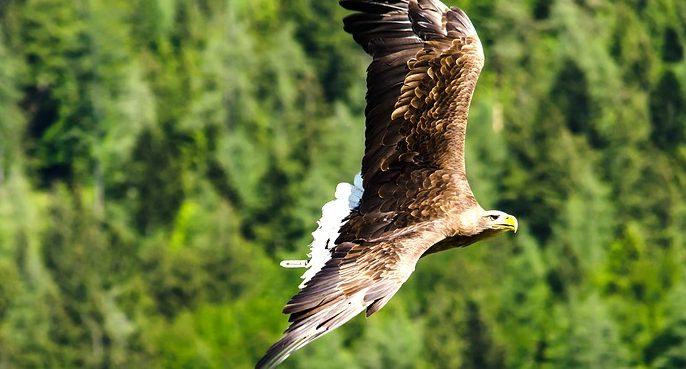 PEFC contribuye a mejorar el hábitat del águila imperial