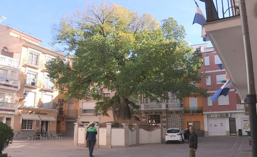 Un olmo centenario de Castellón aspira a convertirse en Árbol Europeo del Año
