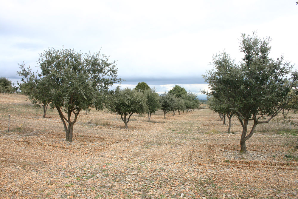 Las plantaciones de encinas micorrizadas con trufa, una apuesta para reforestar terrenos agrícolas