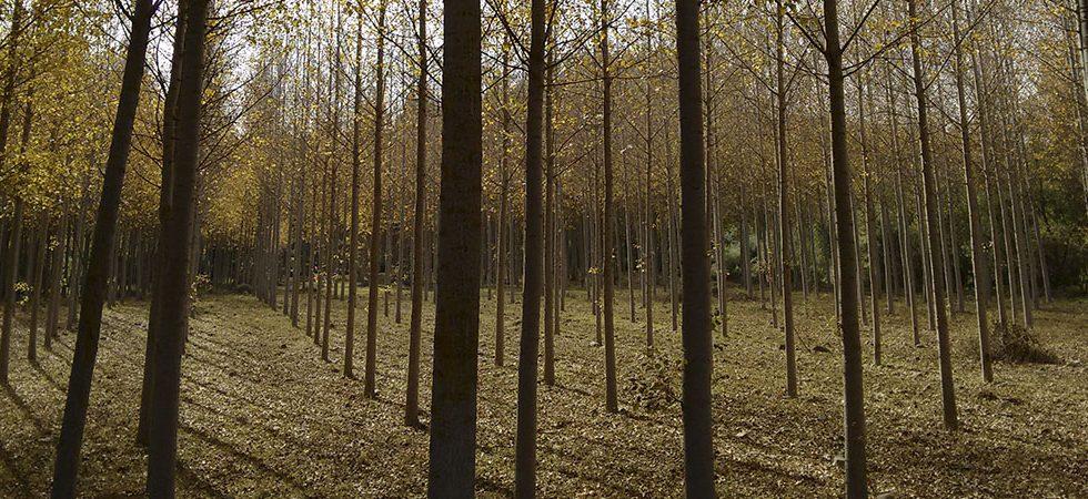 El chopo, el árbol más productivo de La Rioja
