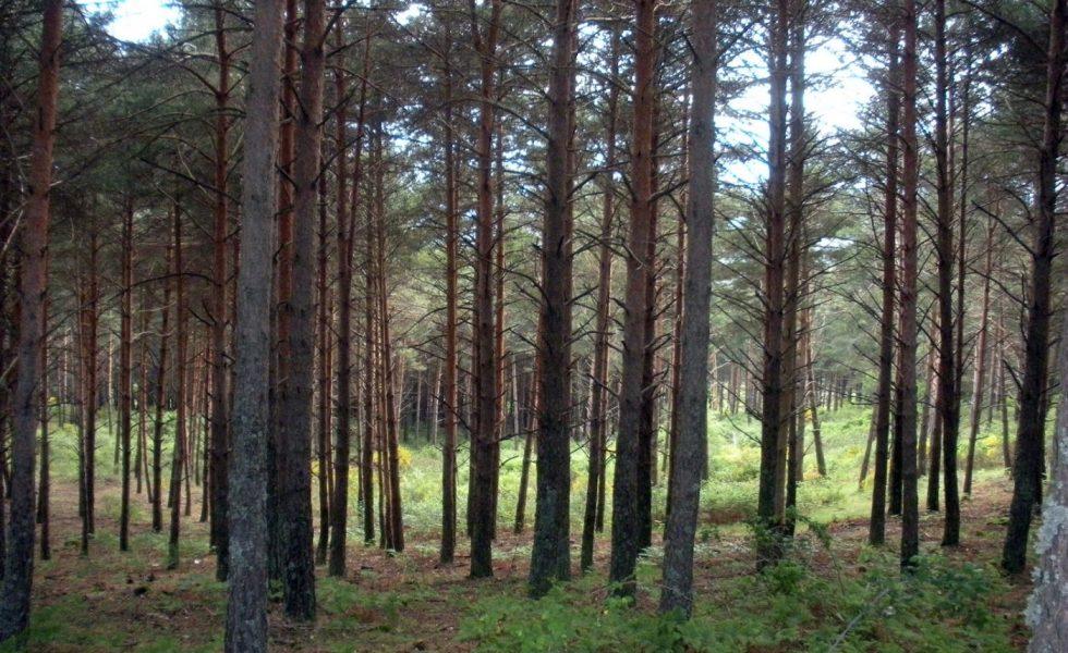 CASTILLA LA MANCHA abre 3 meses de participación pública para hacer inventario de árboles singulares y bosques próximos a la madurez