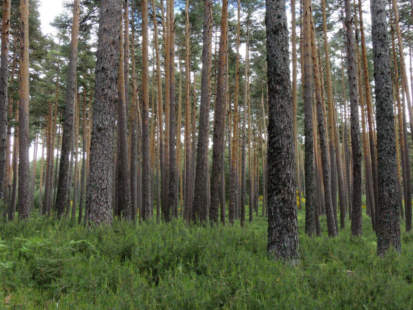 Los bosques ibéricos se están volviendo más sensibles al cambio climático