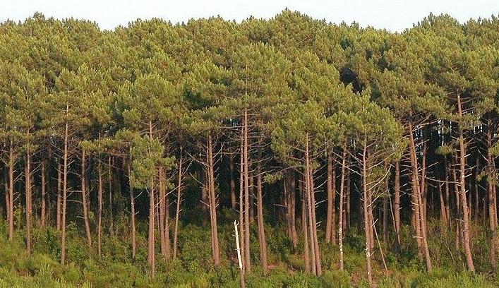 Buscan la forma de poder utilizar la madera del pino marítimo para la construcción