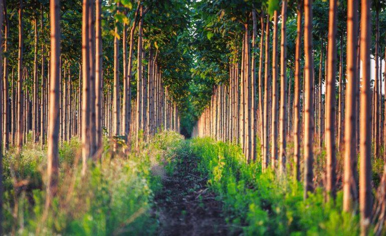 PAULOWNIA: Ecología y Sostenibilidad
