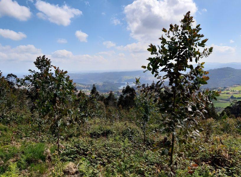 Proyecto de Innovación para la productividad del cultivo de eucalipto