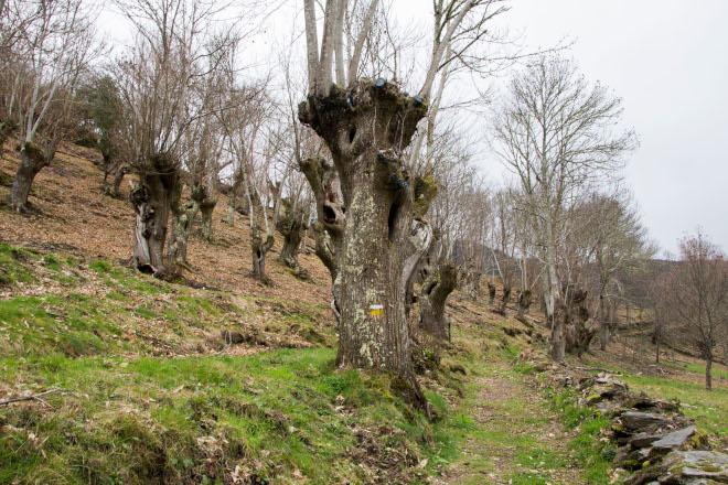 Lugo busca relanzar el aprovechamiento de los soutos de castaño